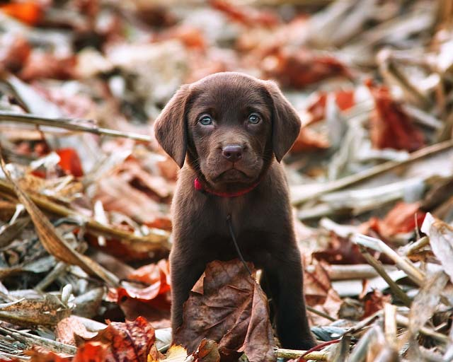 cachorro de labrador retriever